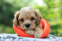 Poodle puppy and toy Stock Images