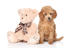 Poodle puppy with toy on white background Stock Photos