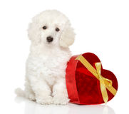 Poodle puppy with Valentine red heart royalty free stock photo