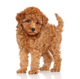 Poodle puppy on a white background Stock Image