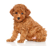 Poodle puppy on a white background Stock Images