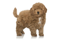 Poodle puppy. On white background Stock Photography