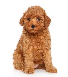 Poodle puppy on white background Royalty Free Stock Photography