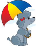 Poodle in Rain Stock Images