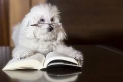 Poodle reading a book