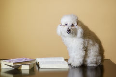 Poodle reading a book Stock Photo
