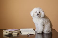 Poodle reading a book Royalty Free Stock Image