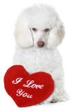 Poodle with red valentine heart Royalty Free Stock Photography