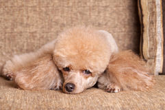 Poodle resting on sofa Stock Photography