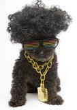 Poodle In Retro Rainbow Sunglasses & Bling Chain Royalty Free Stock Image