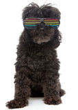 Poodle In Retro Rainbow Sunglasses Royalty Free Stock Photos