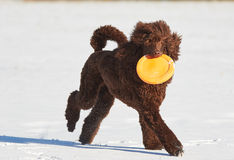 Poodle running with a frisbee in winter Royalty Free Stock Photo