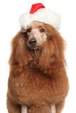 Poodle in Santa hat Stock Image