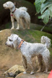 A poodle and a schnauzer dogs. Standing on rocks Royalty Free Stock Image