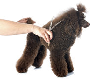 Poodle and scissors Stock Photography