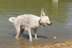 Poodle dog shaking water off body in lake Royalty Free Stock Photos