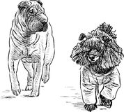 Poodle and shar pei Royalty Free Stock Images