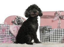 Poodle sitting with Christmas gifts Royalty Free Stock Photo