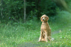 Poodle sitting in forest Stock Image