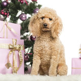 Poodle sitting in front of Christmas decorations Royalty Free Stock Photos
