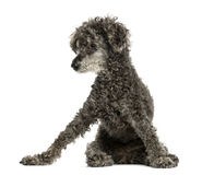 Poodle sitting Royalty Free Stock Images