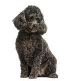 Poodle sitting Royalty Free Stock Image