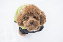 Poodle in snow Royalty Free Stock Photo