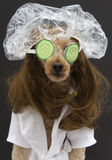 Poodle Spa Treatment Stock Image
