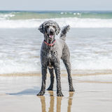 Poodle standing on beach Stock Photos