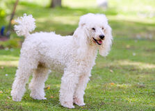 Poodle Standing in the Garden Stock Image