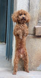 Poodle standing on hind legs Stock Images