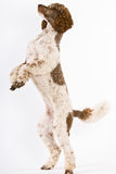 Poodle standing on hind legs Stock Photography