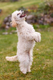 Poodle Standing Trick Stock Photos