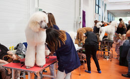 Poodle and their owners at  exhibition Stock Photos