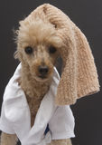 Poodle with Towel On Head Royalty Free Stock Photo