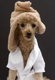 Poodle with Towel On Her Head Stock Photography
