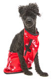 Poodle In Traditional Eastern Dress Stock Images