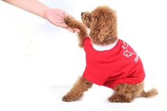 Poodle training Stock Image