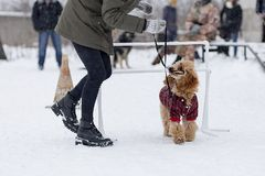 Poodle training on the street in winter royalty free stock images