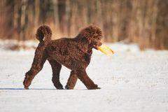 Poodle walkin in snow with frisbee Royalty Free Stock Photography