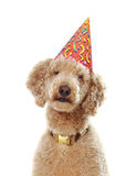 Poodle wearing party hat Stock Images