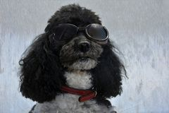 Poodle wearing sunglasses. Portrait of an elegant  harlequin poodle with sunglasses on silvery background Royalty Free Stock Images
