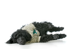 Poodle wearing sweater Royalty Free Stock Photography
