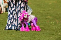 Poodle Wears Tiara And Has Purple Fur At Dog Festival. Suwanee, GA, USA - May 6, 2017:  A poodle with fur dyed purple and wearing a tiara, stands with its owner Stock Photo