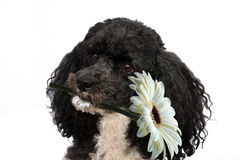 Poodle wishes happy birthday. Poodle with white flower in his mouth wishes happy birthday royalty free stock photography