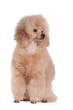 Poodle on a white background. Apricot-colored poodle sitting on white background Stock Photography