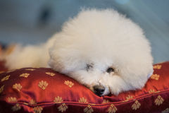 Poodle white dog looking at you on a cushion. Portrait of Poodle white dog looking at you Royalty Free Stock Photography
