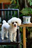 The poodle. A white poodle to stand on the chair Stock Photography