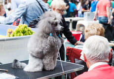 Poodle at XIX national dog exhibition of Catalonia Royalty Free Stock Image