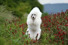 poodlekunglig person Royaltyfria Bilder
